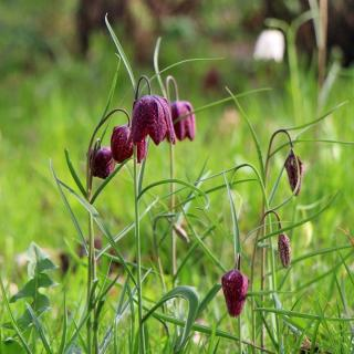 Spring bulb flowers include fritillary