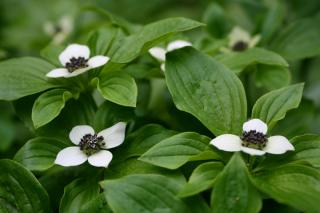 Cornus canadensis is excellent for ground cover