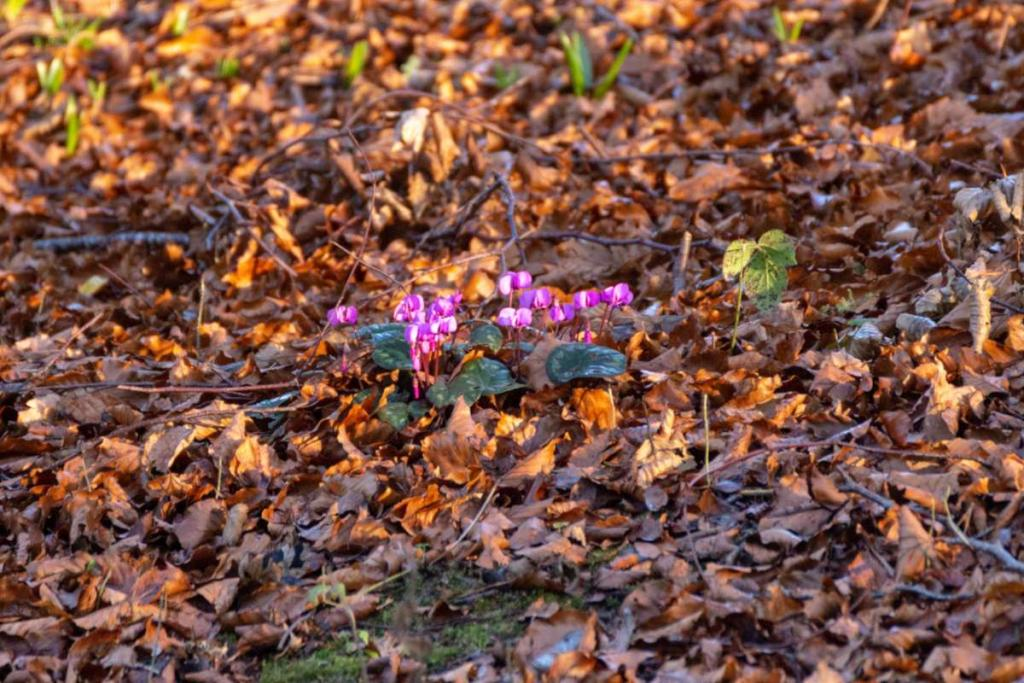 Cyclamen coum forming a carpet in a forest