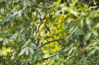 Bay laurel, a mixed hedge shrubs that birds love