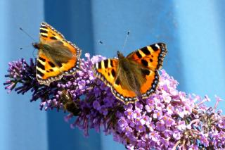 Buddleia, nice for butterflies to come to the hedge