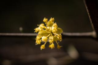 Cornus mas is a nice early blooming mixed hedge shrub