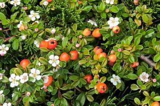 Cotoneaster in a mixed hedge