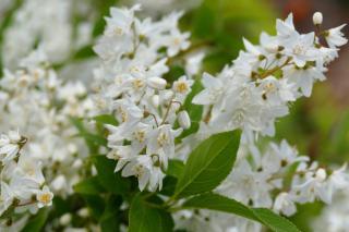 Deutzia looks great in a mixed hedge