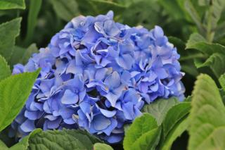 Hydrangea in a mixed hedge