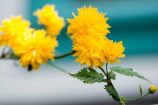 Kerria, yellow pompoms of color in a mixed hedge