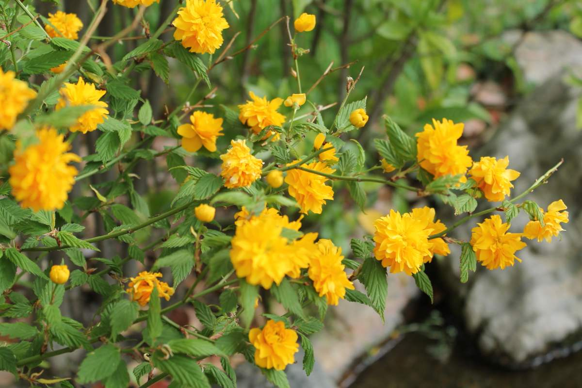 List of 12 shrubs for mixed hedges