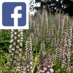 Picture related to Acanthus overlaid with the Facebook logo.