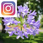 Picture related to Beautiful agapanthus overlaid with the Instagram logo.