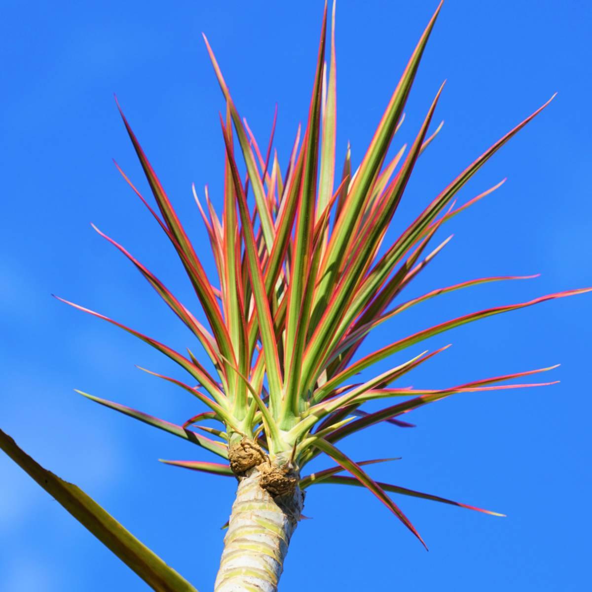 Top of a beheaded dracaena marginata dragon plant