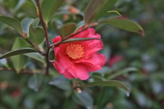 Camellia, the 'fairy wand' variety, grows and blooms best in heath