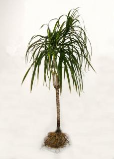 Complete dracaena with a mark on where to cut.