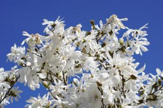 Star magnolia, a flowering heath shrub