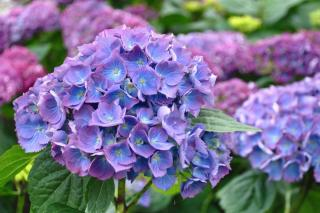 Hydrangea blooming in blue and pink