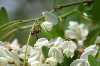Melliferous and full of nectar is the black locust tree