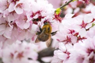 Prunus, the ornamental cherry tree, greets a wild bumblebee