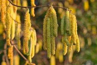 Catkins of the hazel tree can be white or yellow