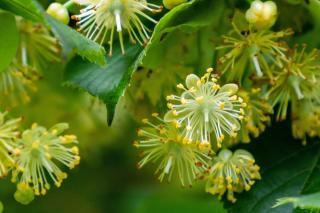Linden provides massive amounts of nectar for honey