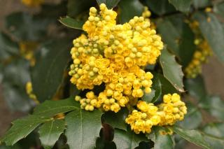 Cluster of yellow mahonia flowers