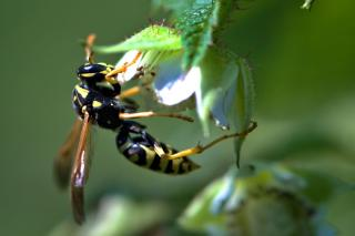 Wasp on a raspberry flower