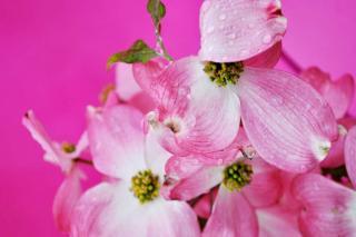 Shrubs that bloom in pink