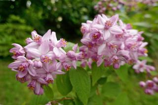 Pink blooming deutzia hybrid