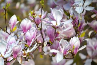 Magnolia soulangeana is a flower-bearing heath tree