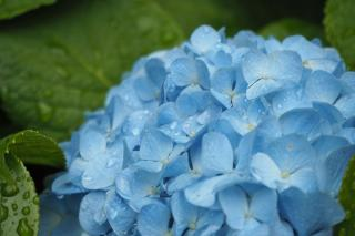 Hydrangea is among the most consistent summer bloomers