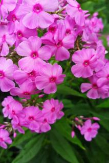 Phlox, pink with deep red centers on each flower