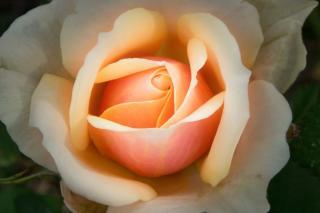 Heart of a Anastasia Adamariat rose