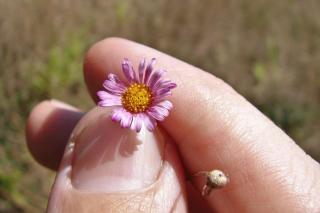Tiny lawn-daisy-like erigeron