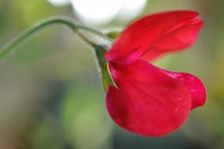 The firebrand sweet pea is red-flowered