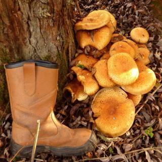 Armillaria root rot honey fungus mushrooms