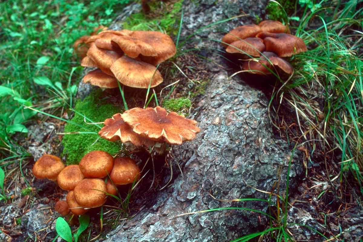 Honey fungus root rot