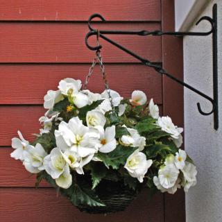 Classic begonia, white