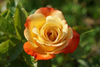 Rose with wonderful colors thanks to natural fertilizer
