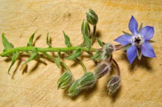 Borage flower description