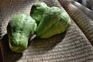 Three chayote fruits freshly harvested