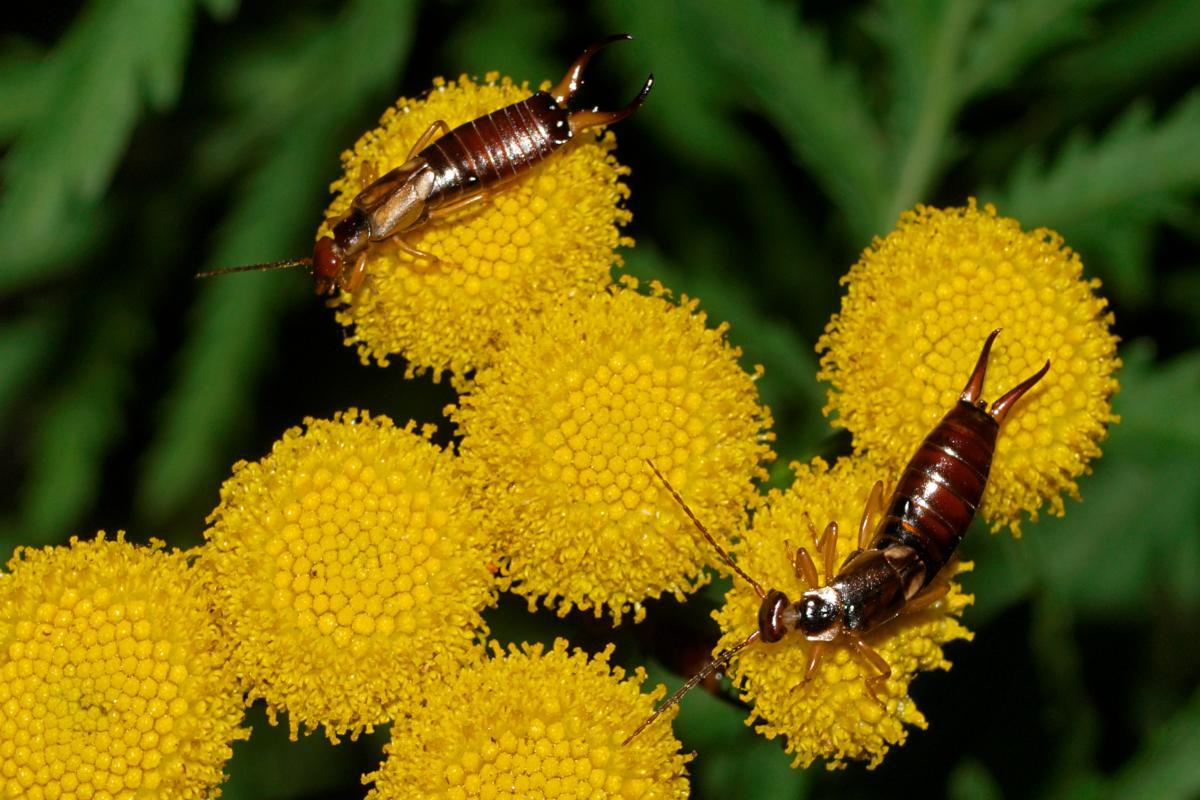 Earwigs on a yellow flower