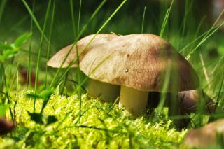 Mushrooms that grow in the garden are often dangerous, but some are edible