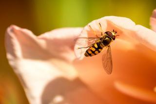 Hoverfly in a garden flower