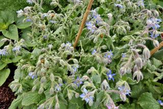 Borage is one of the easier plants to grow