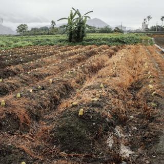 Chayote field with rich soil