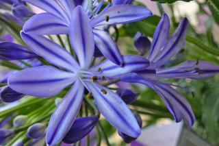 Agapanthus Northern star, the lily-of-the-nile