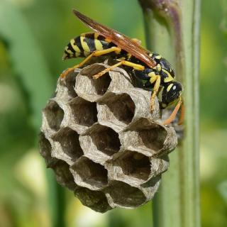 A paper wasp building a nest feeds on garden pests