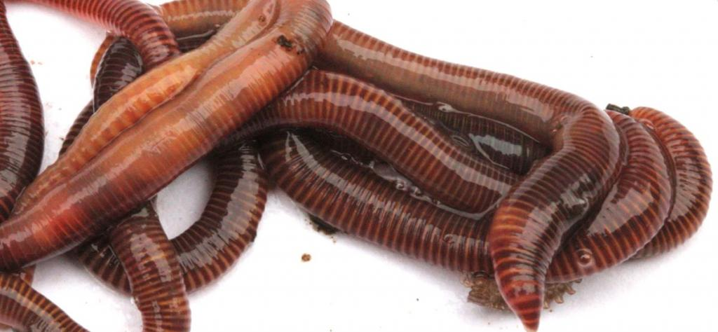 Species of worms for vermicomposting