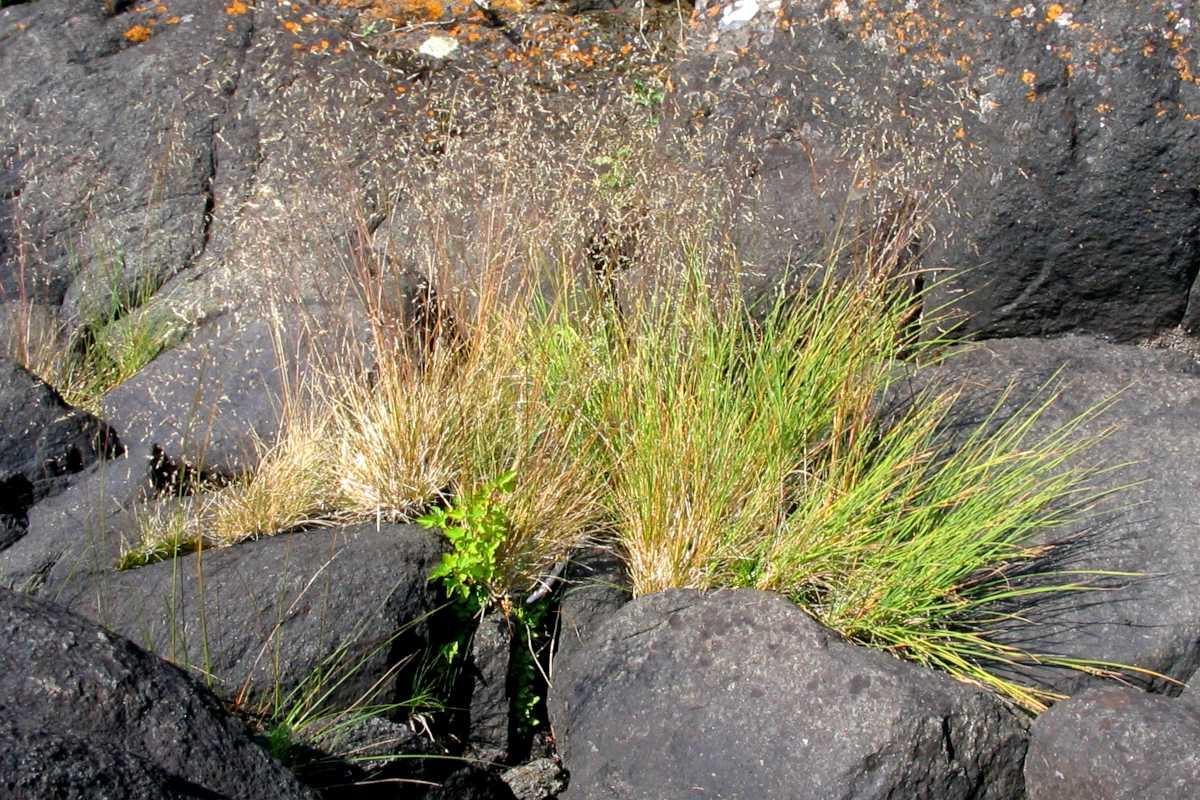 Deschampsia cespitosa tufted hairgrass
