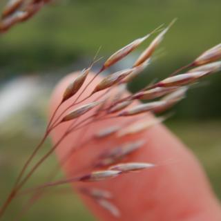 Propagating and multiplying tufted deschampsia cespitosa hairgrass