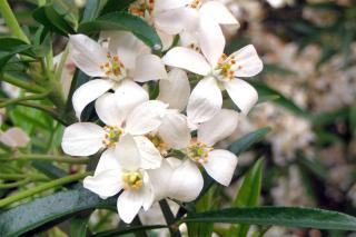 Choisy ternata is a shrub that resists drought well