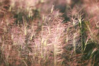 Hazy pink flower seeds for this special drought-loving grass